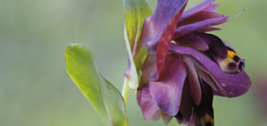 nuova pianta gargano cerintheretorta