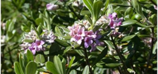 Rami fioriti di Daphne sericea